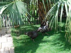 Soya guinea fowl