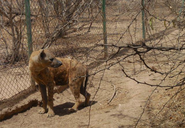 Hyena 1 640