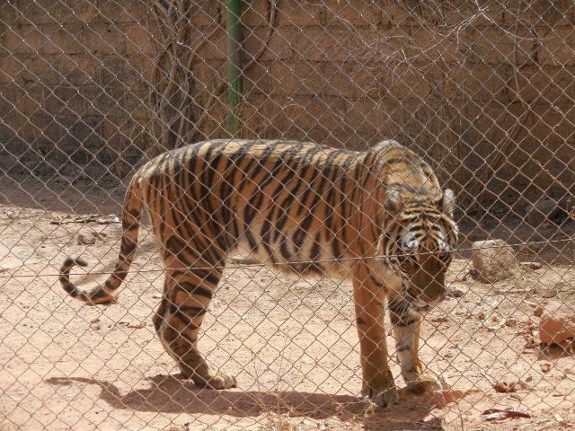 Tiger 640